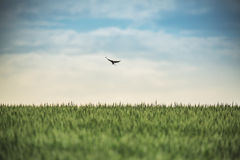 Swallow in flight over the field Stock Images