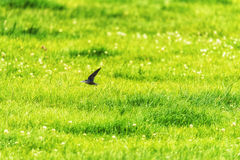 Swallow Flying Fast Over Field Stock Image