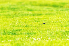 Swallow Flying Fast Over Field Royalty Free Stock Photos