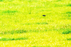 Swallow Flying Fast Over Field Royalty Free Stock Image