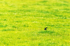 Swallow Flying Fast Over Field Royalty Free Stock Photo