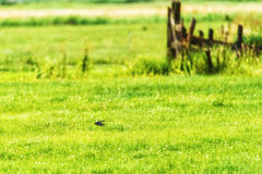 Swallow Flying Fast Over Field Stock Photos