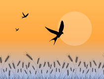 Swallow flying over wheat field. Illustration with swallow tail bird flying over mature wheat field with sun as background, while rising, season and spring or Royalty Free Stock Photos