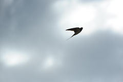 Swallow Flying in the Sky Royalty Free Stock Photos