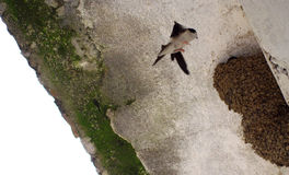 Swallow flying to a nest Stock Photography