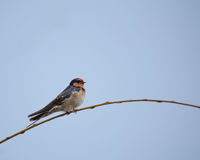 Swallow on Grass Royalty Free Stock Images