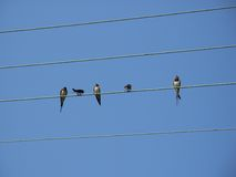 Swallow group on the wire Stock Photo