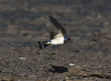 Swallow, Hirundo rustica Royalty Free Stock Photography