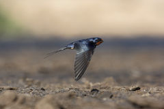 Swallow, Hirundo rustica. In flight, Spain stock photo