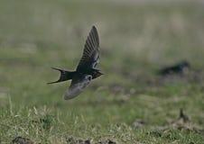 Swallow, Hirundo rustica Royalty Free Stock Image