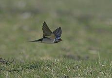 Swallow, Hirundo rustica Royalty Free Stock Photos