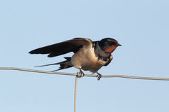 Swallow, Hirundo rustica Stock Images