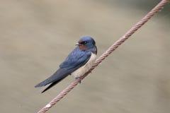 Swallow, Hirundo rustica Stock Photography