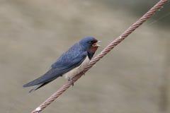 Swallow, Hirundo rustica Stock Image
