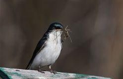 Swallow intercalare Fotografia Stock