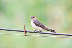 A swallow on line Stock Photos