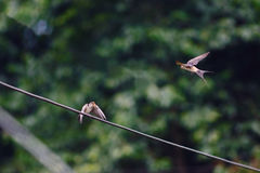 A swallow on line waiting for prey back Royalty Free Stock Photos