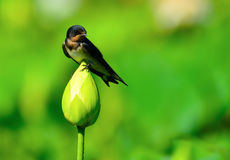 Swallow & Lotus. A swallow is standing on the lotus Stock Photos
