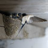 Swallow mother feeding baby swallows. It was taken in my stable with bounced flash. I forgot to shut the door for some days in the spring. They moved in and stock photography