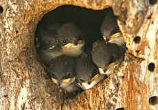 Free Swallow Nest Royalty Free Stock Image - 3733006