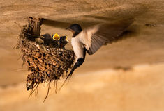 Swallow Nest Stock Photos