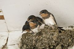 Swallow nest with chicks Royalty Free Stock Photos