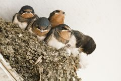 Swallow nest with chicks Stock Images