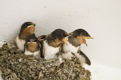 Swallow nest with chicks Stock Photos