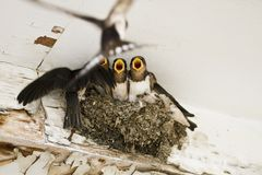 Swallow nest with chicks Stock Image