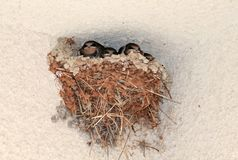 Swallow nest with four nestlings royalty free stock photos