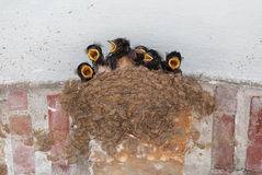 Swallow nest with hungry chicks Stock Photo