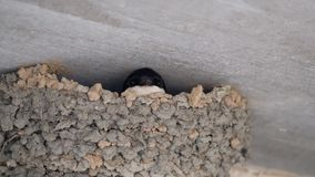 Swallow in nest. stock footage