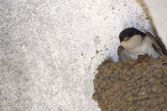 Swallow in the nest. Swallow shows from a nest gazing to the camera Stock Photo