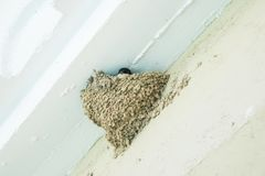 Swallow in a nest on a white wall. Spain Stock Photo
