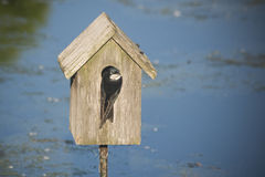 Swallow nesting in a bird house Royalty Free Stock Image