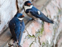 Swallow with out of focus mate. A white-throated swallow perched on a rustic  wooden structure with a out of focus bird in the background Royalty Free Stock Images