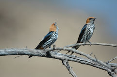 Swallow Pair. Stock Image