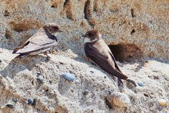 Swallow pair is sitting on rocks. Two brown swallows are sitting on a rock in front of their breeding burrow in Pointe de la Torche, France royalty free stock photos