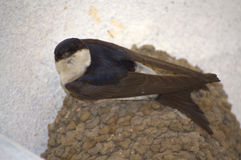 Swallow perched on nest. Looking curiously to the camera Royalty Free Stock Photography