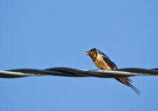Swallow perched on steel wire Stock Image