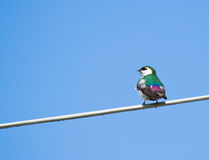 Swallow perched on steel wire Royalty Free Stock Photography