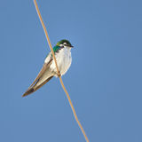 Swallow Perches on a Wire. A Violet-Green Swallow rests on a wire. Light blue sky in the background royalty free stock photo