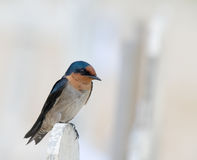 Swallow Perching on Fence Royalty Free Stock Photos