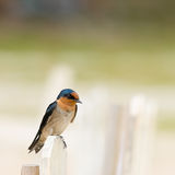 Swallow Perching on Fence Stock Photo