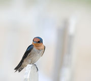 Swallow Perching on Fence Stock Photography