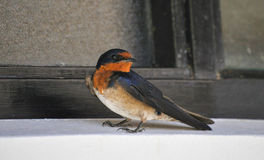 Swallow: Petrochelidon pyrrhonota. Swallow perched in the shade next to a window Stock Image