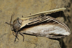 Swallow Prominent Moth Royalty Free Stock Photo