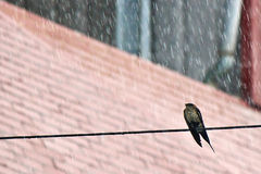Swallow in the rain Royalty Free Stock Photography