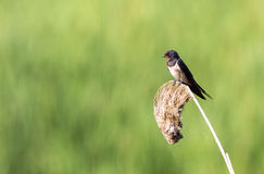 Swallow on  Reed Looking Left Royalty Free Stock Image