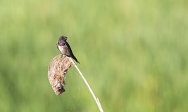Swallow on  Reed Looking Right Royalty Free Stock Photo